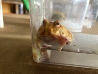 クランウェルツノガエル飼育してます この子はレッドレッグでしょうか?初期症状ですか? また改善方法を教えてください。  餌もよくたべます。動きもいいです。 なぜこうなったんでしょうか??