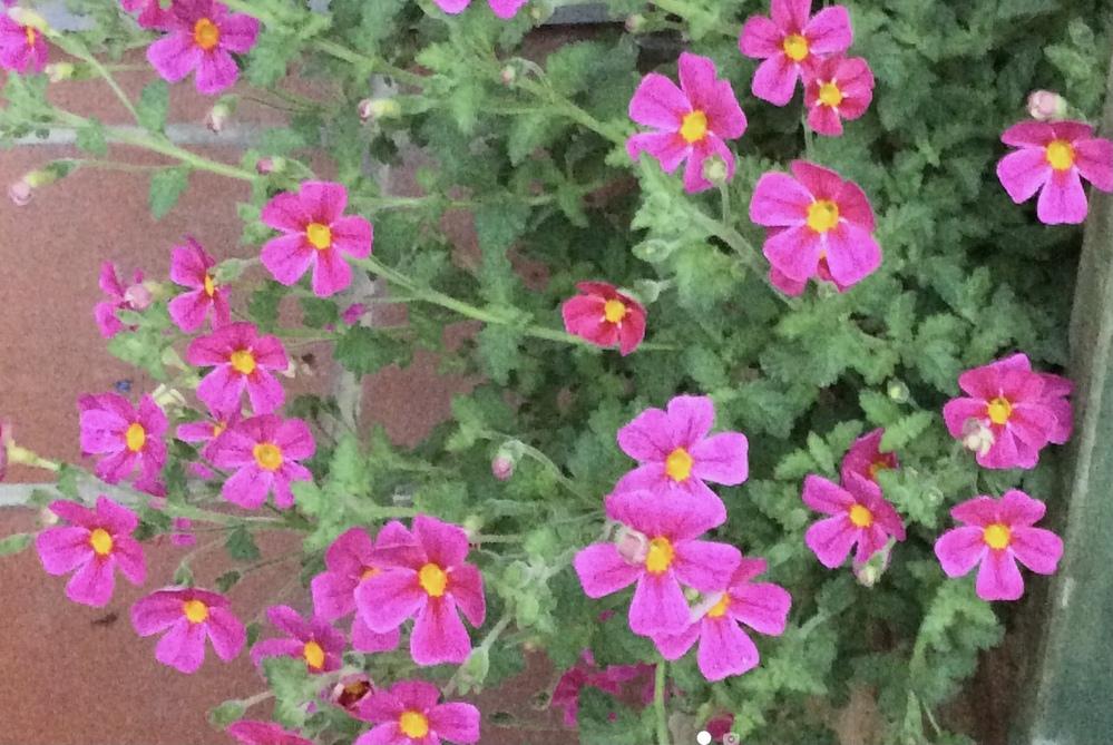 お花に詳しい方へ 花の名前を教えてください。ピンクの小花がたくさん咲きます。画質はあまり良くないですが、写真を添付します。