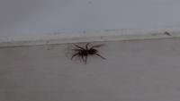 家で出た小さいクモなのですが、なんというクモかわかる方いますか? いつも見るアダンソンハエトリじゃなさそうで、少し気になりました。 かなりゆっくり動きます