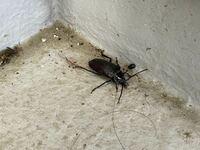 先程は家のベランダで見つけたのですが、この虫は何という虫がわかりますでしょうか? カミキリムシの一種かなとは思うのですが…