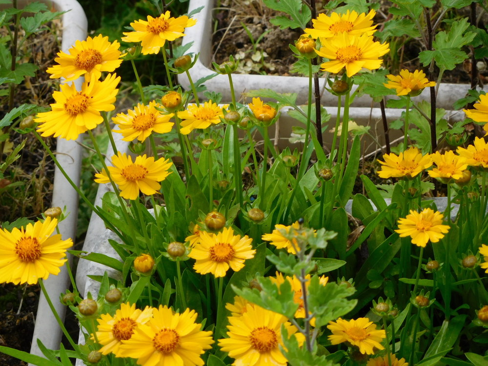 黄色い花の植物名を教えてください。 多年草・草丈(花)は15~20㎝程度です。 寒さに強いです。 開花はこの時期のみです。