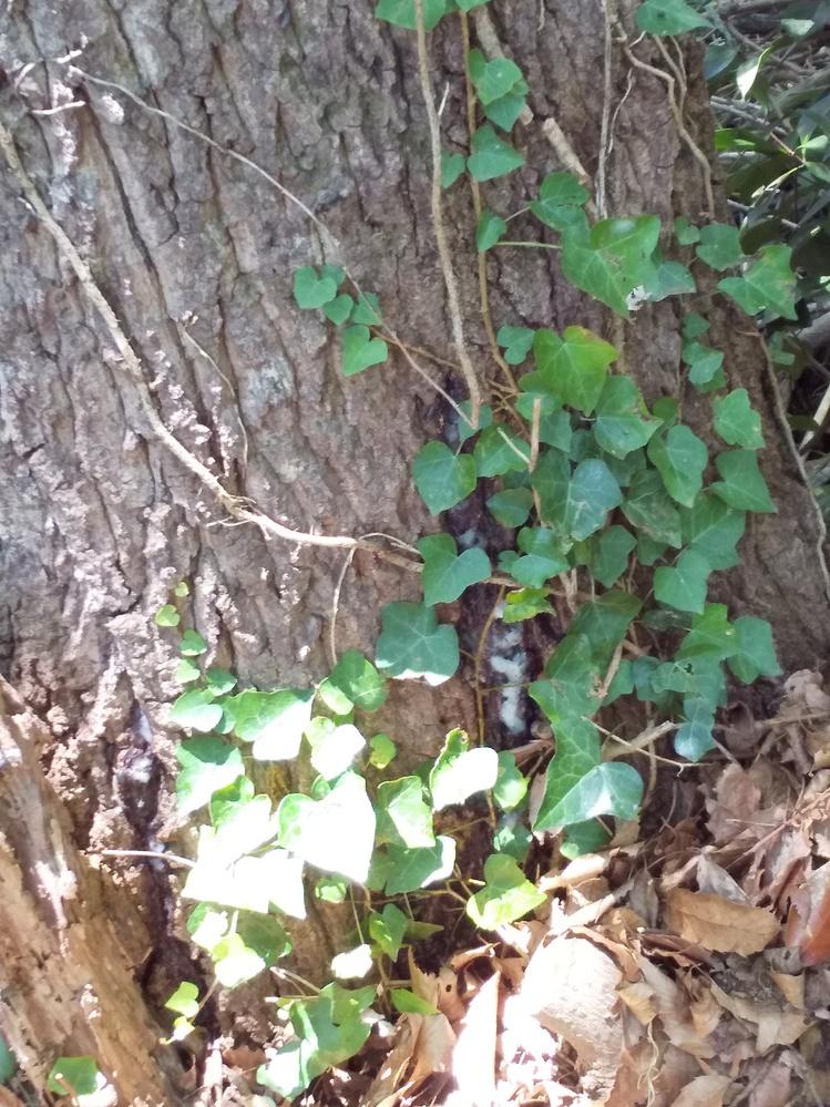 クワガタ採集に息子と初挑戦してます。 この木に夜か朝方来れば可能性あるでしょうか? また、木の名前を教えてください!宜しくお願いします。