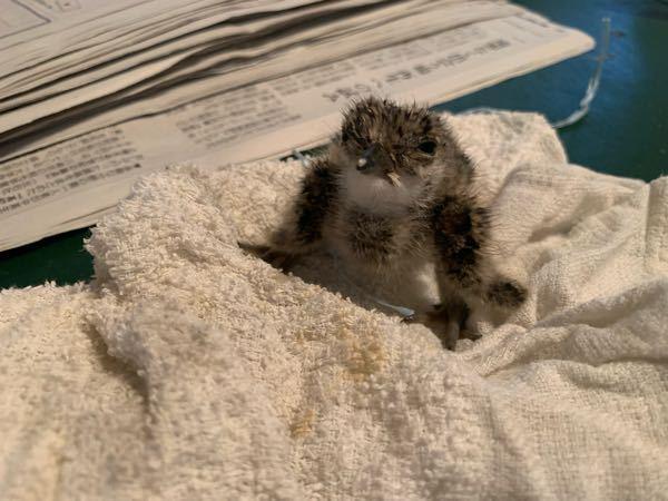 田んぼにあった卵を温めたら産まれたんですがなんの鳥か分かる方いませんか?よろしくお願いしますm(*_ _)m