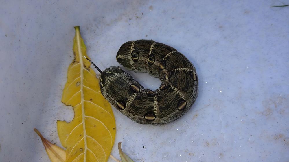 この幼虫の種類おわかりになりますか? 自宅の庭にいたものです。 何か害虫とかでしょうか?