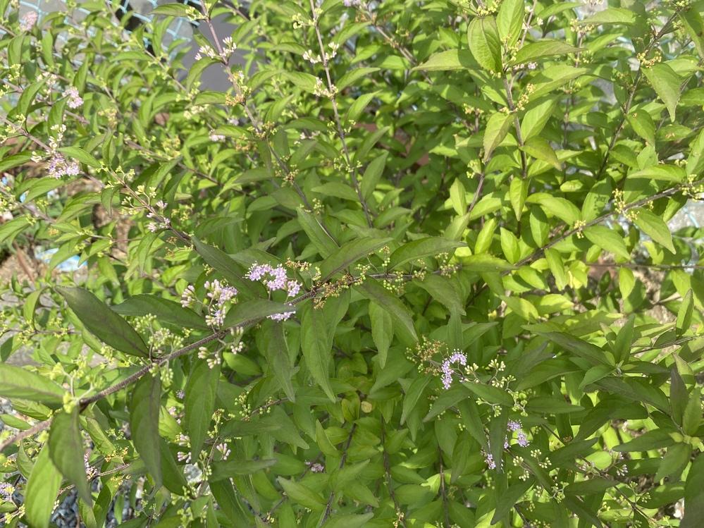 こちらの木の名前を教えてください。 我が家の花壇に植えられてる木なのですが、今の季節こんな花がついています。 なんの木かわかりますか? 高さは腰くらいの高さで、扇状な感じで枝が広がっています。