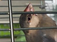 教えてください! 文鳥の目尻の部分なのですが… 生後2ヶ月くらいの文鳥です。 生後1ヶ月位で迎えましたが、程なくして右目尻のかさつきに気付きました。  撫でていて引っ掛かりを感じて見つけたのですが、敷いていた乾燥チモシーで傷ついたのかと思い、そのうち治るだろうとそのままにしておきました。  まだ治りません。目の大きさも左に比べて若干小さいです。    乾燥していますが、これは皮膚病で...