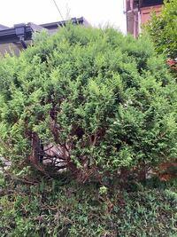 このカイヅカイブキの上の樹は檜?でしょうか。