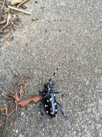 草むしりしてたら背中にこんな虫が入ってました!! 害はないですか? かゆみとかないです。  しかし上から来るもんですか??
