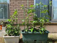 プランターでのパッションフルーツの育て方についての質問です。 昨年夏沖縄でパッションフルーツを購入し、美味しく頂いた後、種を室内のパセリの植わってるプランターに試しに蒔いたら秋に発芽しました。 そのまま室内で冬を越して、春先には20cmくらいまで成長し、5月の終わりに外のプランターに間引きして選んだ6本を、2つのプランターに4:2に分けて植え替えました。  そして今成長して、写真の通りになっ...