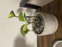 観葉植物に詳しい方、教えてください。 写真の植物の名前が知りたいです。 先日購入したのですが、名前の書いてある札を捨ててしまい、種類などがわからなくなってしまいました。 水をあげる頻度など、育て方を調べたいです。  ご存知の方おりましたら、教えてください。