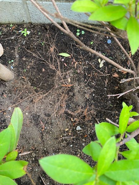 庭に地植えしてあるツツジの根が、土の表面に露出しまいました。これはどのように対応したら良いでしょうか。 ①そのままにする ②表面に出た根をカットする ③表面に出たねの上に新しい土を被せる ④その他 土の上に落ちた枯れ草を熊手で除去する際に土を引っ掻きこのようになってしまいました。 ご教示いただけると幸いです。よろしくお願いします。