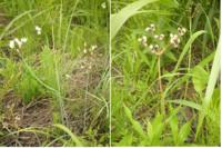 画像の雑草の名前を教えてください。写真が見にくくて申し訳ないですが、すーっと伸びた茎の先に白い花が咲いて、葉も細長いです。 右の画像のように種ができます。よろしくお願いします。