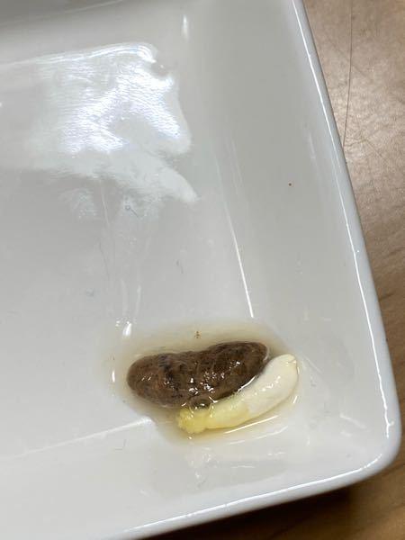 レオパ(生後3ヶ月ほど)の糞が写真のように黄色っぽいです。家に来た頃は黒で健康でした。そしていつもより少し水っぽいです。理由は分かりますか?そして何か対策はありますか? 餌は2cm程度のデュビアで、ビタミン配合無しのカルシウム剤を毎日かけています。 温度は26〜28度ほどでパネルヒーターでお腹を温めるスペースを作っています。 家に来た頃よりも不活発な気がします。 よろしくお願いします。