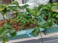 プランターで苺を栽培しています。 実の収穫は終盤に入り、ランナーを伸ばし始めた段階ですが、古い葉だけでなく、新しい葉もちじれたようになり、ランナーの先の1番苗の葉も同様になっています。 病気でしょうか?それとも栄養の関係でしょうか? 肥料(追肥)は、写真の土の表面に白い粒が見えるように、月に一度リン・カリ肥料を株元に蒔いていました。