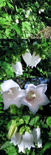 7月の標高300m~400mくらいの低山にあった植物です。 筒状? の下向きの白い花に、赤紫っぽい斑点がついています。 何という名前の植物でしょうか??