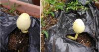 植物、キノコに詳しい方にお訊ねします。 庭に置いてあるプランターに突然キノコのようなものが生えました。 これはいったい何でしょうか? なんという種類のキノコ(または植物)なのかご存じの方がいらしたら教えてください。 よろしくお願いいたします。