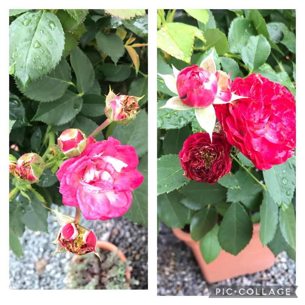 バラの花がキレイに咲きません。 3年前にバラにハマり、いくつか育てています。 地植えのつるバラはキレイなお花を咲かせるのですが、鉢植えのバラ、とくに1種類、デュエットバルコニアのお花が我が家に来た時からお花が毎回汚いです。 蕾の段階から汚く、そのまま咲かないものが数輪、咲いても花弁の形、長さもおかしく…(写真参照) ちなみに写真は今咲いている2番花。 1番花は綺麗に咲いた花もありましたが、ほんの1/4程度。 病気にかかったことはなく、かなり強健品質なんですが… 私の育成の仕方ですが、消毒系散布は10日に一度。(現在梅雨のため、2週間ほど散布していません) 肥料はあげていますが、多くはあげていません。 オルトランDXを1番花後に撒きました。(年に4回ほど散布) 天候によりますが、夏場は朝と夕方にたっぷり水遣りしています。 鉢植えの場所は1日中日がよく当たり、雨ざらし。 ほかの鉢植えのバラのお花は特別綺麗ではありませんが、最終的にはそこそこ綺麗に咲きますが、このバラだけ毎年酷く汚いです。 詳しい方がいらっしゃいましたら、アドバイス等お願いします。