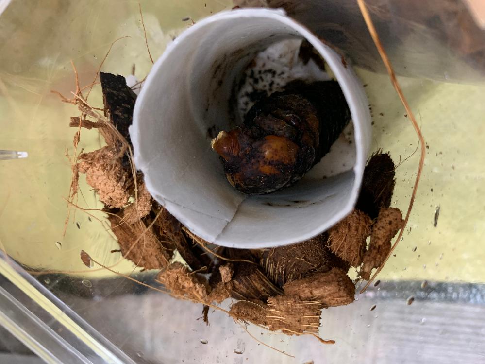 カブトムシのさなぎです。 全く動かないのですがこの蛹はいきていますか? どなたか教えてください(>