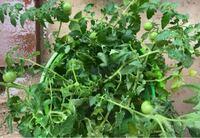 イタリアンミニトマトの脇芽をバケツに入れておいたらいつのまにか実が出来てきています。まだ土に植え替えても大丈夫でしょうか?