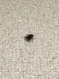 家に出た小さい蜘蛛ですが、この蜘蛛は何と言う蜘蛛ですか?除去したほうが良いでしょうか? 小さい子などにも被害は無いでしょうか? お詳しい方ぜひとも教えてください。