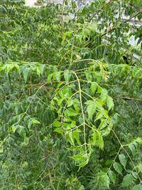 この植物の名前を教えてください。 ゴマダラカミキリがたくさんいました。
