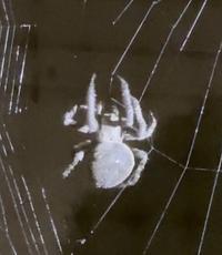 昨夜よりこの蜘蛛がベランダにおります。 この画像の蜘蛛は何という蜘蛛ですか? 全体が灰色で、腹部がかなり大きいです。 足を広げると恐らく5cm程になります。 ご教授願います。