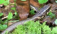 このヘビはなんという種類ですか? アオダイショウ?