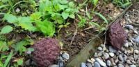 このキノコの名前を教えて下さい。   庭に突然生えてきたこのキノコ、何という名前でしょうか。  ご存知の方宜しくお願いいたします。