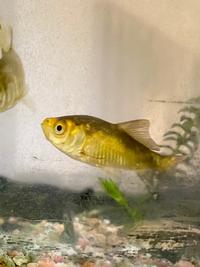 この魚の種類を教えてください。 「金魚」と言われ譲り受けたものですが、なんという種類でしょうか?友人はゲームセンターでとったようです。 頭の真ん中あたりがややオレンジ色にも見えます。まだら模様というか....背ビレの近くだけ黒いです。  詳しい方教えてください。 我が家にコリドラスがいますが混泳も可能でしょうか?よろしくお願い致します。