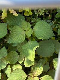 この葉っぱは大葉ですか?じゃなかったら何の葉っぱですか?