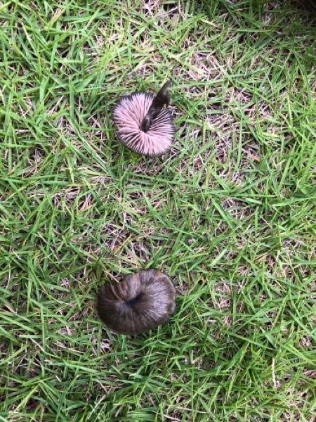 芝生に勝手に生えているこのキノコの種類はなんなのでしょうか?毒とかは大丈夫でしょうか。お願いします 。