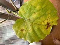 ウンベラータの葉が黄色くなります。  今年の春に一回り大きな鉢に変えた ウンベラータです。 今までは葉も緑でしっかりしていたのが 最近、葉が黄色くなります。 新しい芽は育っているようなのですが 何が原因でしょうか。 鉢底をのぞくと、根が出てきてはいます。  普段は室内の角、カーテン越しに光が入り 他の観葉植物はその場所でも元気です。  水やりは乾いたら、ですが 最近...