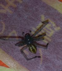 このクモの名前と毒性の有無を知りたいです。 クモの方は…体は7~8mmほど、足まで入れたら2~3cm近くあると思います。 色は黒?灰色?で、縦に黄色い線があります。  お風呂場でこのクモに噛まれてしまい、噛まれたところがチクチク、ヒリヒリと痛みます…。  噛まれたところには虫刺されの薬を塗って、保冷剤で冷やしています。