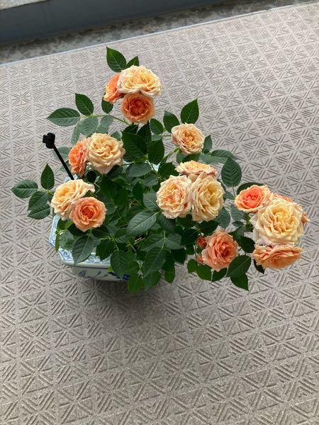 写真は以前のもので今は黄色のバラが咲いています バラを切り戻して再度咲かせましたが写真のようなオレンジ色はなくて黄色しかありません どうしてでしょうか