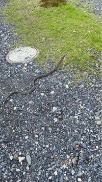 この蛇はなんの蛇ですか?アオダイショウですか?