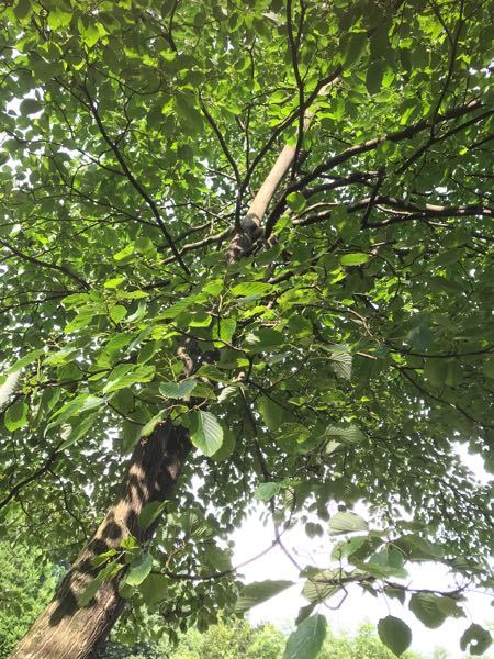これは何の木ですか