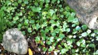 植物に詳しい方、写真の植物の名前を教えてください。 庭にある雑草ですが綺麗なので育ててます。 最近、この植物の性質など気になってましたが名前が分からないと調べることも出来ません。 どうか教えてください。