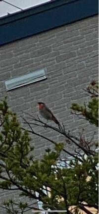 近所で朝4時からずっと泣いている鳥がいます。 大きさはスズメくらい。 首元が赤いです。 鳴き声は高くて何か喋ってる?歌ってる?ような鳥なのですが、鳥の名前わかる方いらっしゃいますでしょうか。 とても可愛いです。