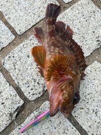 海釣り初心者です。 これは何という魚ですか?食べられるますか?