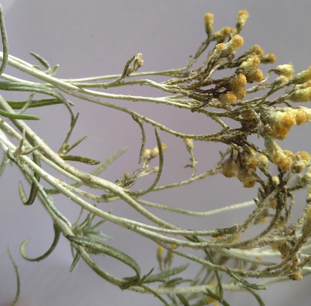 カレープラント について質問です。 苔玉にカレープラントを植えて室内で育てているのですが、花が咲いた後先端にプツプツができて元気がなくなってきました。(白っぽくべたついていない) 自分でも調べたのですが、病気なのか虫なのか、胞子?なのかわかりませんでした。 害があるのかどうか、もし害があるのならどういう対処すればいいのかを教えてくださるとありがたいです。 よろしくお願いします。