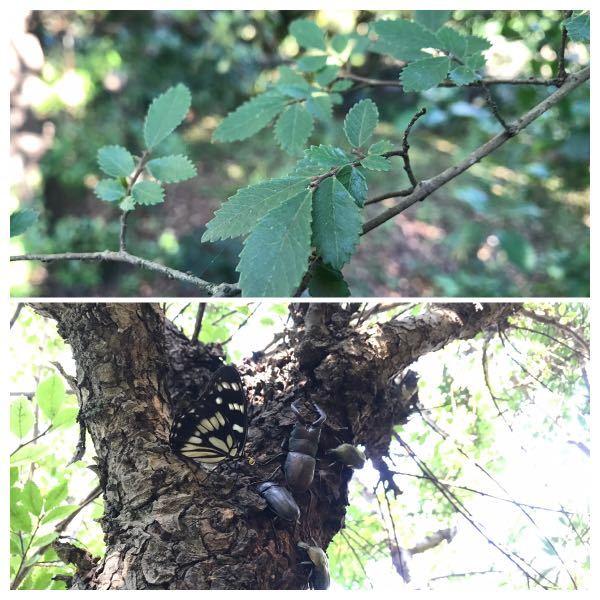 知り合いの庭にクワガタやカブト虫がよくとれる木があるのですが、この木の名前がわからないので教えていただきたいです。 葉は大きくありません。 木全体の写真がないもので、わかりづらいとは思いますがよろしくお願いいたします。