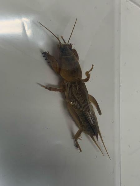 写真の虫はなんですか? 3センチくらいです。