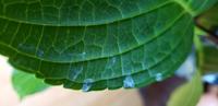 アジサイの葉っぱに薄い白いシミのようなものが。病気でしょうか?鉢植え、室内に置いてます。画像付けました。