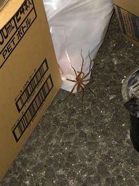 蜘蛛 クモ  これはなんて蜘蛛ですか?