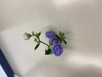この花の名前は何ですか? かすみ草より気持ち大きいかな?くらいの小輪で、紫の小さな花がたくさん咲きます。