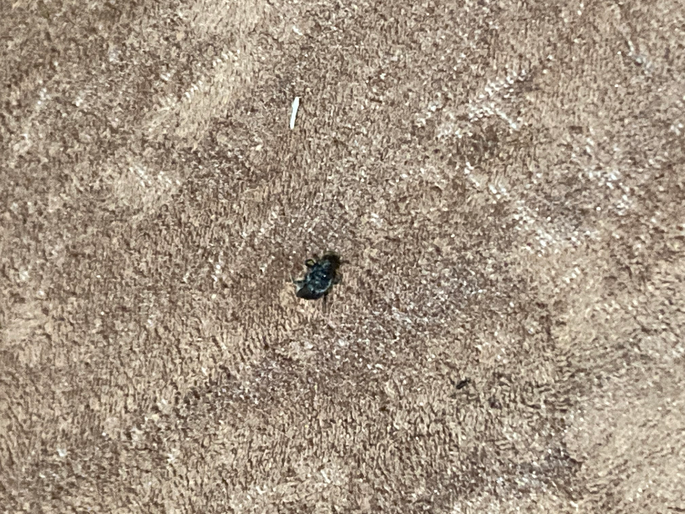 この虫が何という虫かわかる方いらっしゃいますか? 画像が不鮮明で申し訳ないです。 色は黒くて、大きさは1cm程でした。 とりあえずゴキジェット噴射して捨てたのですが、いったい何だったのかわかる方がいましたら教えて下さい。 よろしくお願いします。