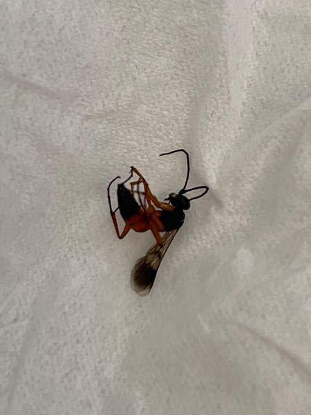 今朝、部屋を凄いスピードで飛んでいて 殺虫剤で撃退しました。 これはシロアリの一種ですか? 家に被害を与える蟻ですか? 専門家の方、ご教授ください。
