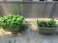 サツマイモの栽培について 2つのプランターでサツマイモを育てているのですが、同じ日に植えたのに片方のプランターだけほとんど育ちません。 肥料などあげた方が良いでしょうか?