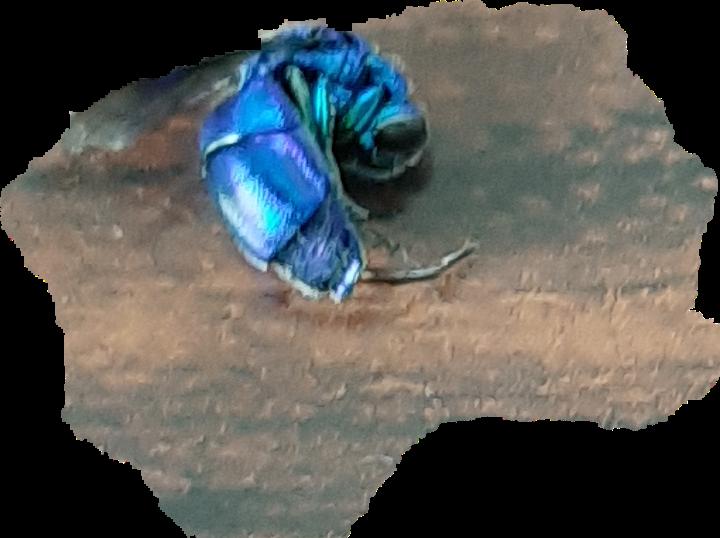 リビングの窓際で死んでたのですが何の虫ですか?調べたのですがわかりません。珍しい虫ですか?教えてください