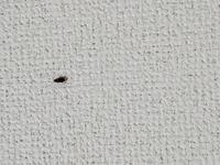 ゴキブリの赤ちゃん?閲覧注意です。  これで2匹目なのですがこれはゴキブリの赤ちゃんですか?